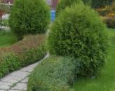 Живые изгороди из туи – лучшее решение для ландшафтного дизайна, сорта и способы ухода